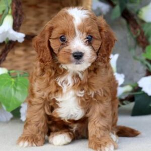 cavapoo puppies for sale in tn