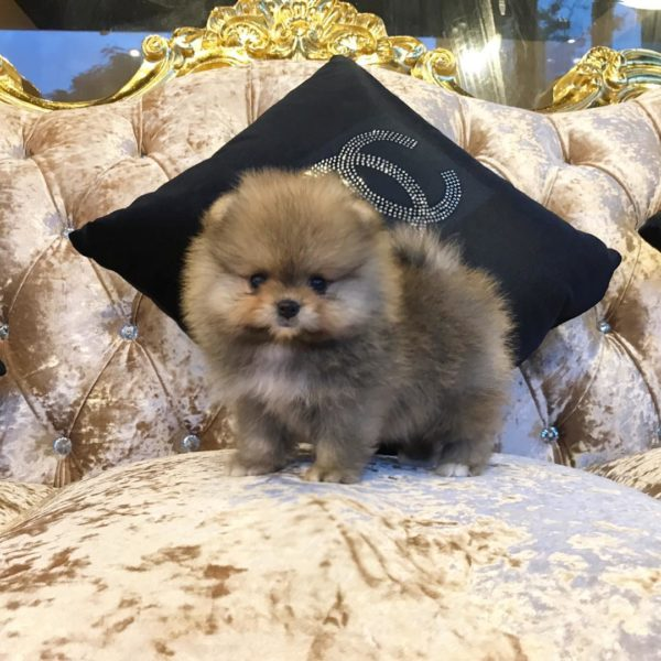 Pomeranian puppies for sale in oregon
