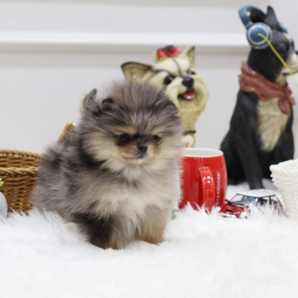 Pomeranian puppies for sale canada