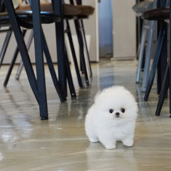 Chow pomeranian puppies for sale