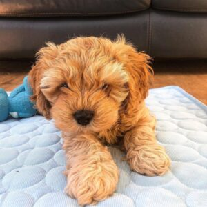 Cavapoo for sale in FLORIDA