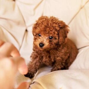 Poodle mix puppies for sale toronto