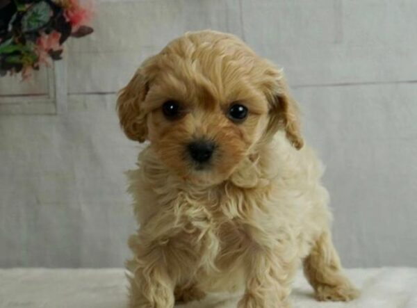 Poodle cross puppies ontario