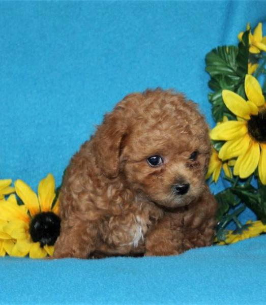 Toy poodle puppies for sale ontario