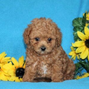 Minature poodle puppies for sale ontario