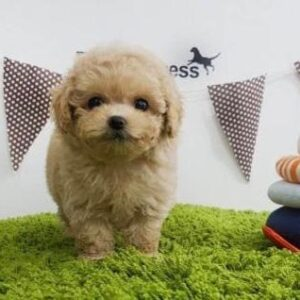 Poodle mix puppies for sale in montana